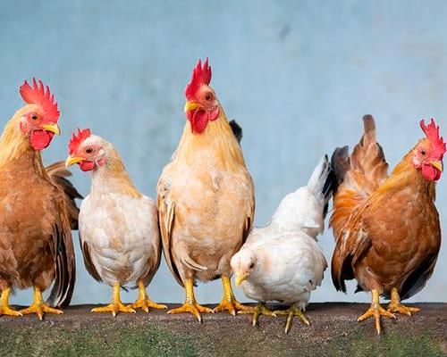 Испанские фразы на тему домашние птицы
